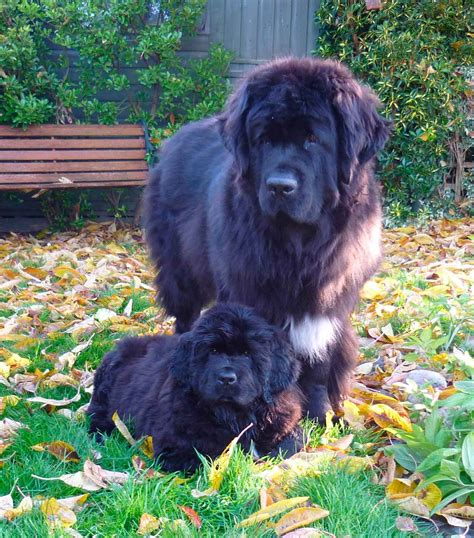 newfoundland puppies newfoundland puppies homepage