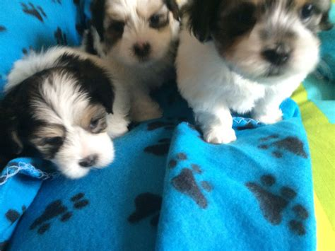 kyi leo puppies for sale lhasa x maltese kyi leo puppies rotherham south pets4homes