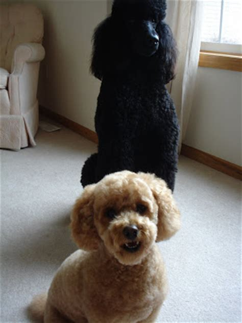 toy poodle haircuts pictures toy poodle haircuts pictures