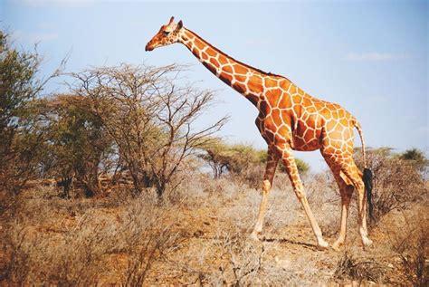 imagenes de jirafas grandes 191 d 243 nde vive la jirafa