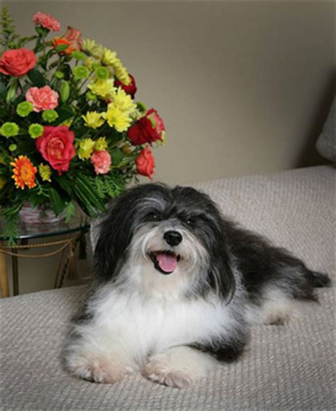 havanese breeders canada havanese breeders canada s guide to dogs breeds