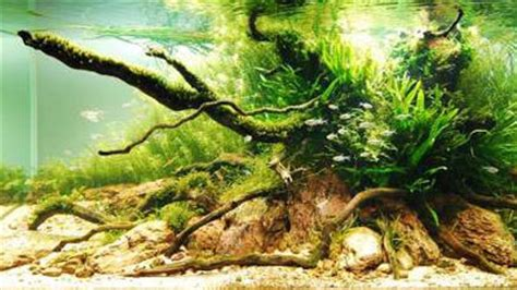 award winning aquascapes underwater gardens award winning planted aquariums la times