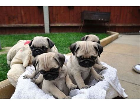 cheap baby pugs for sale 25 best ideas about pug puppies for adoption on pugs for adoption
