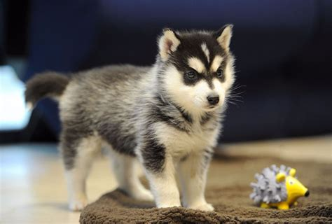 pomeranian breeders in northern california northern california pomskies review california pomsky breeder pomsky pup