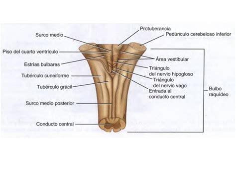 partes del bulbo raquideo unidad 7 tronco encef 225 lico anatom 237 a de sistema nervioso