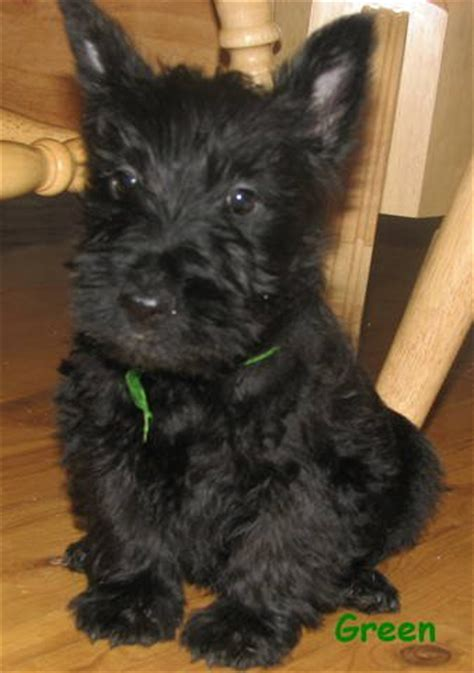 terrier puppies for adoption scottish terrier puppies for sale adoption from lethbridge alberta adpost