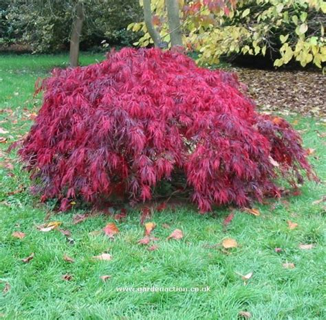 best maple tree varieties best 25 japanese maple varieties ideas on japanese maple small garden japanese