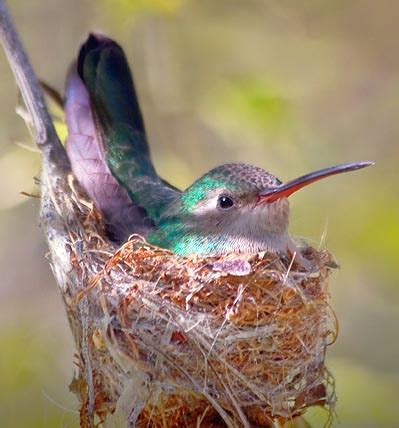 nesting hummingbird 20080229 photo gordon w photos at