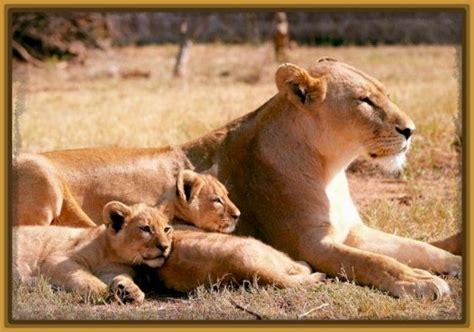imagenes de leones con sus cachorros imagenes de leonas con sus cachorros con frases archivos