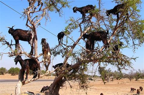 kambing pemanjat pohon  pemandangan aneh  dunia