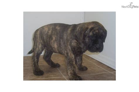 bullmastiff puppies for sale in va bullmastiff puppy for sale near huntington ashland west virginia 45ff8a95 a1d1