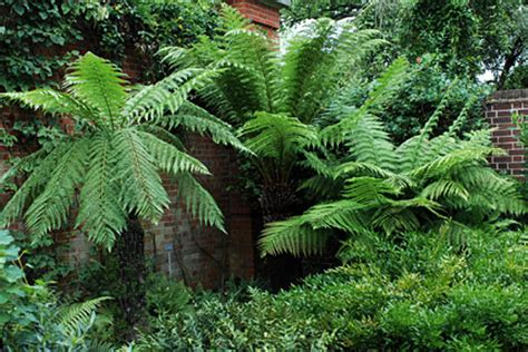 Small Room Ideas by Tree Ferns Rhs Gardening