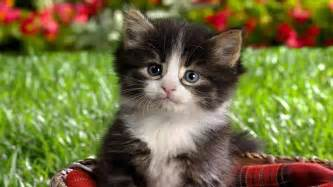 baby animals images baby kittens hd wallpaper and