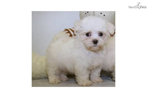 meet max  cute maltese puppy  sale   teacup