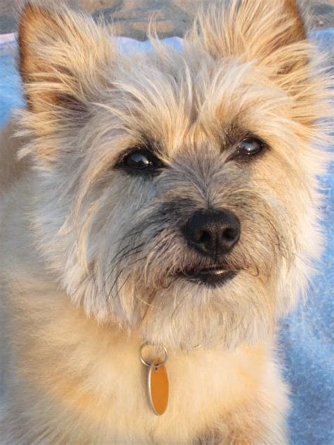 dog grooming cairn terrier 514 best cairn terriers and friends images on pinterest