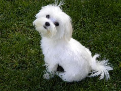 Boy Maltese Haircuts | maltese haircuts google search cooper pinterest