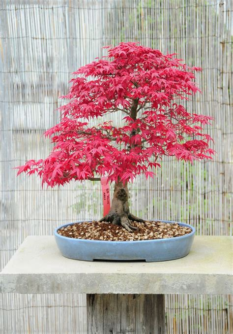bonsai with japanese maples 0881928097 17 best ideas about acer palmatum on japanese maple garden maple tree and
