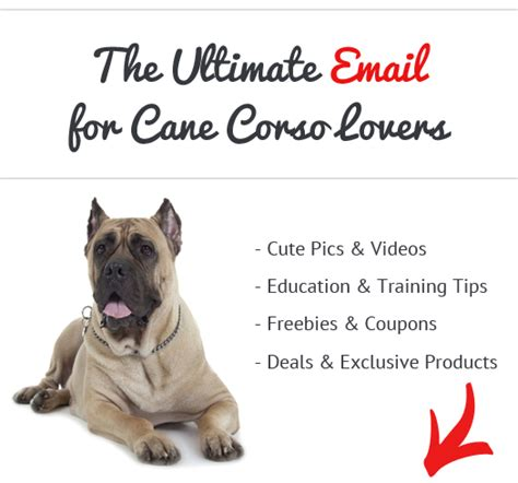 Do Mastiffs Shed by How Bad Do Corsos Shed Advice From Real Corso