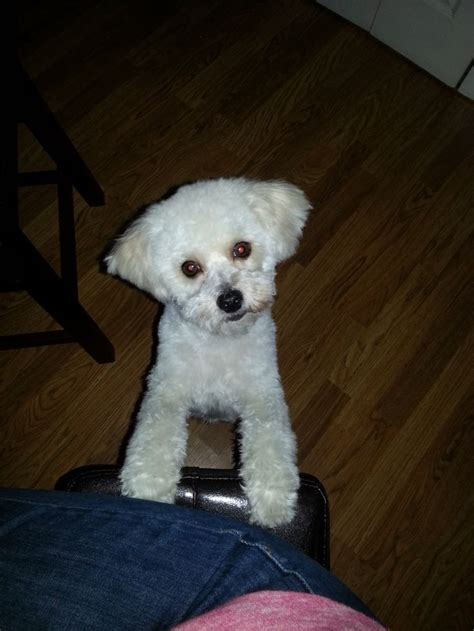 maltipoo haircuts grooming maltipoo haircuts via ronnie wolfe maltipoo hair cuts