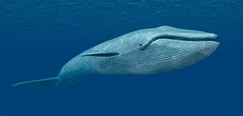 imagenes sorprendentes de ballenas caracter 237 sticas de las ballenas