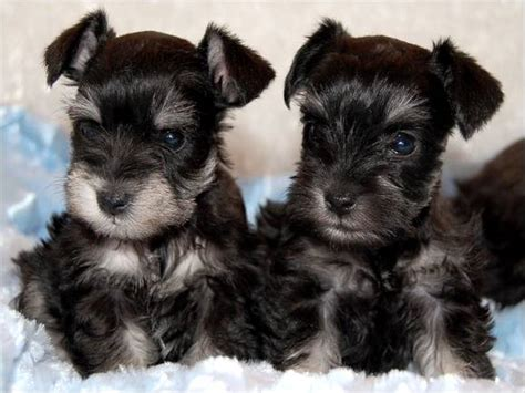 schnauzer puppies for sale in teacup schnauzer puppies for sale teacup schnauzer puppy breeders laurietooker