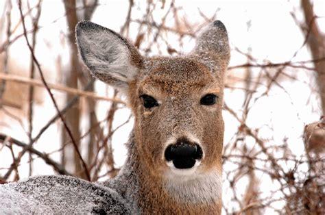 hungry deer  pose threat  shrubs trees chicago tribune