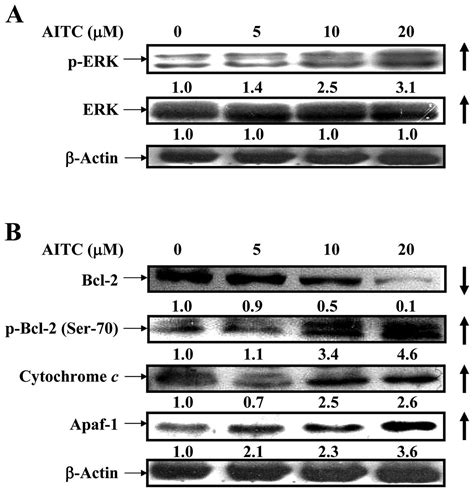 ERK modulated intrinsic signaling and G2/M phase arrest