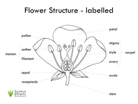 diagram of a labelled flower flower structure labeled flowers ideas