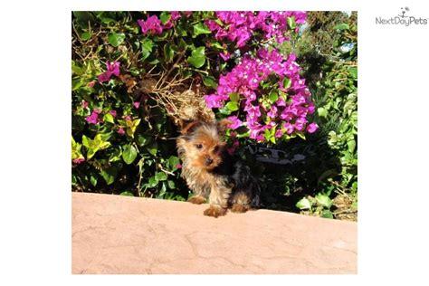 teacup yorkie for sale in san diego terrier yorkie puppy for sale near san diego california ce4eb3d8 0831