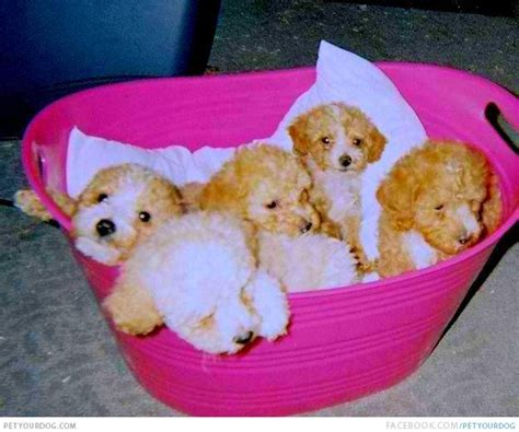 pink puppies pink poodles puppies www pixshark images galleries with a bite