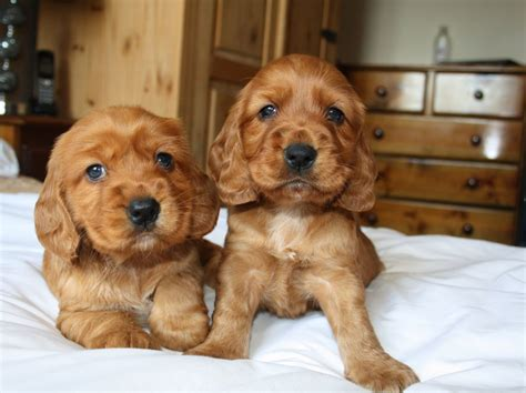 teacup cocker spaniel puppies for sale puppies for adoption for sale breeds picture