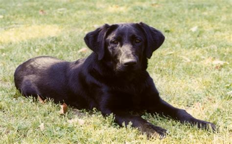 pictures of lab dogs black lab dogs wallpaper 13985109 fanpop