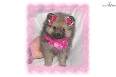 pomeranian puppies nyc teddy pomeranian puppies for sale on island breeds picture