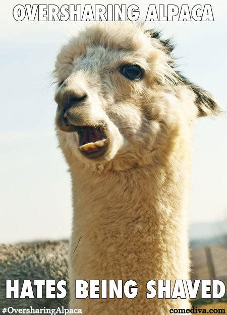 new meme oversharing alpaca comediva