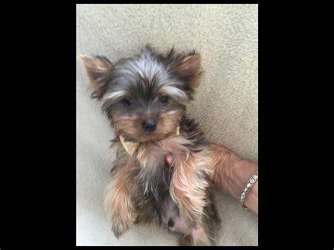 pocket yorkies pocket yorkies terrier puppies for sale