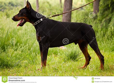 how to doberman to be a guard guard doberman pictures to pin on pinsdaddy