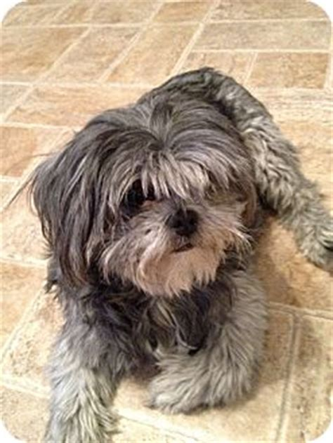 shih tzu boise pet not found