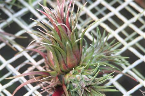 Tillandsia Blushing tillandsia ionantha blushing bromeliad cluster
