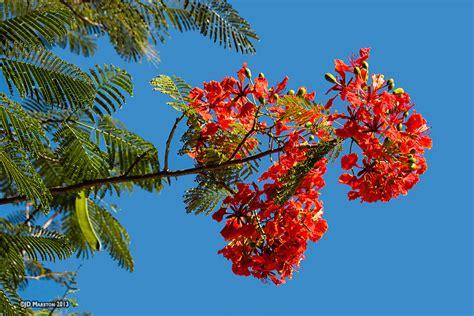 poinsiana tree decorations poinciana delonix regia perth wa garden centre