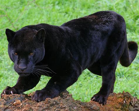imagenes negras fotograf 237 as de panteras negras black panthers photos