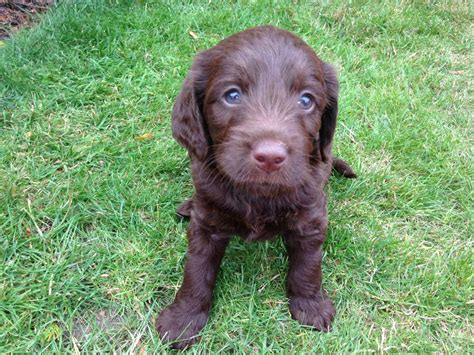 chocolate labradoodle puppies miniature f1 chocolate labradoodle puppies bournemouth dorset pets4homes