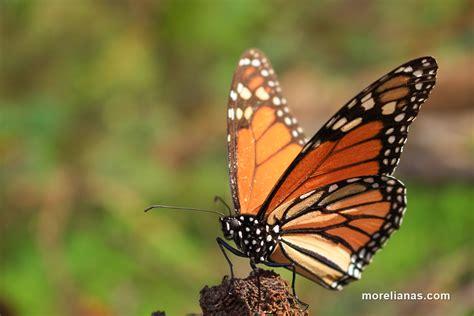 imagenes de mariposas monarcas tour a la mariposa monarca