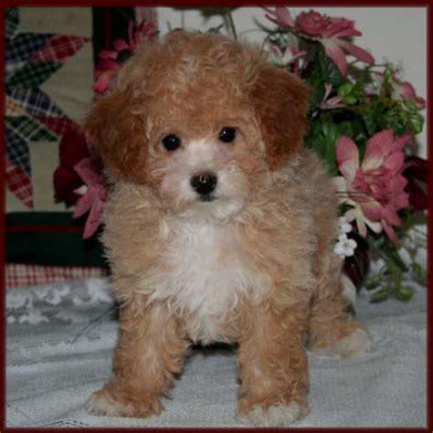 bichon poodle puppies bichon poodle poochon bichpoo puppies for sale iowa
