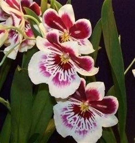 orchidea nera fiore piante di orchidee orchidee orchidee piante