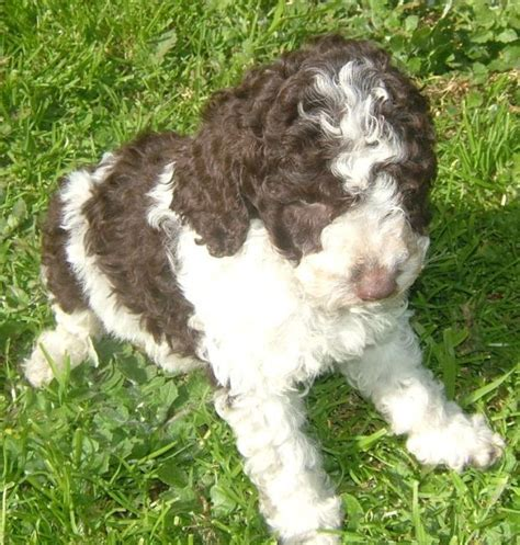 white labradoodle puppies pictures of parti labradoodle puppies