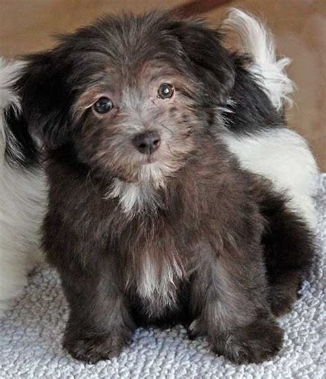 havanese puppies south florida havanese puppy for sale alternative views breed havanese date of birth breeds