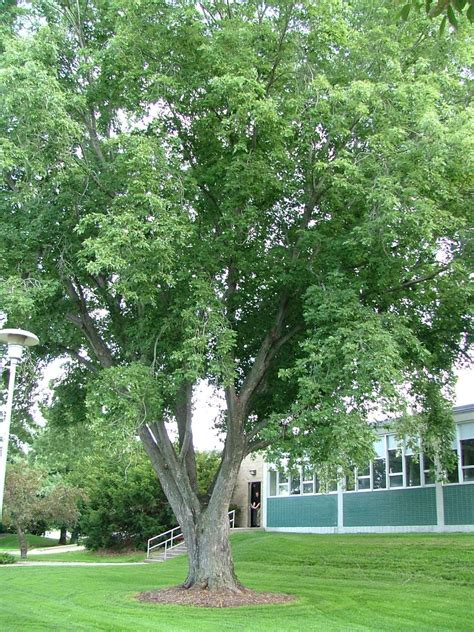 link how to identify the various trees in the maple tree family pic silver maple