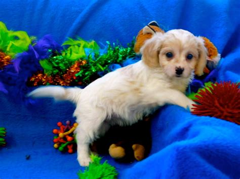 century farms puppies cavachon puppies puppy breeder in iowa century farm puppies