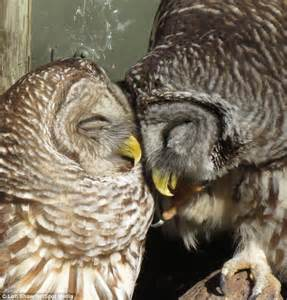 owl lovers just the twit two of us owls caught kissing as they get