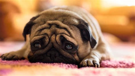 sad pug puppy sad pug wallpaper